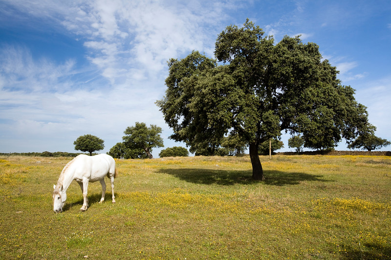 White horse grazing on a springtime meadow, province of Caceres, autonomous community of Extremadura, southwestern Spain