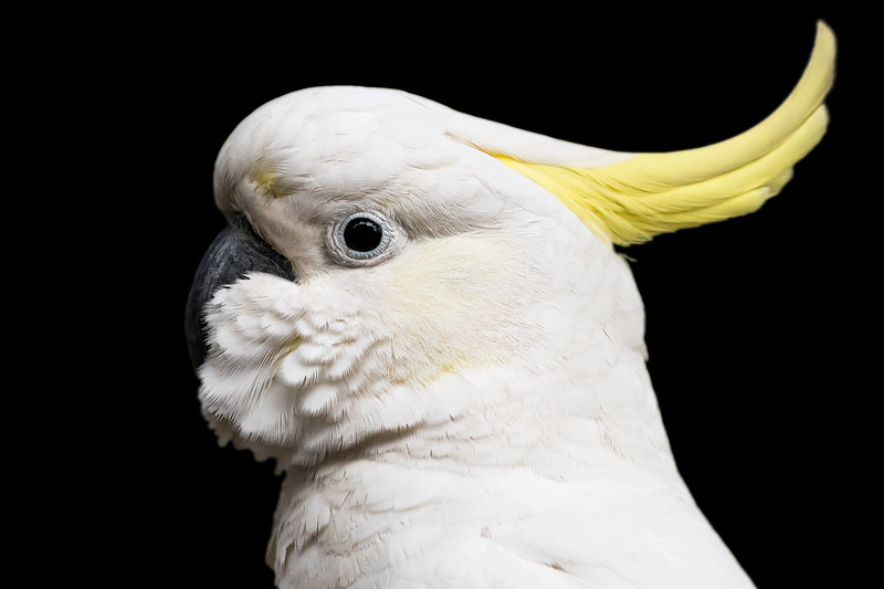 cockatoo_.jpg