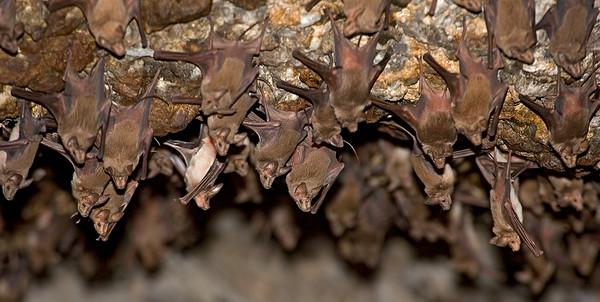 bats - עטלפים