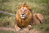 Male lion laying in grassy African countryside. Photography fine art photo prints print photos photograph photographs image images artwork.
