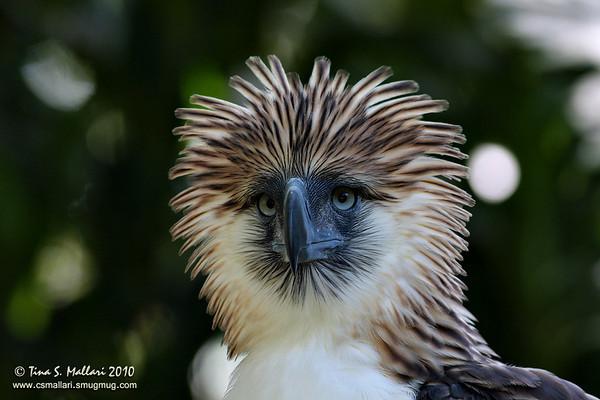 Buzzards, Eagles, Harriers, Hawks, Kites - Family: Accipitridae