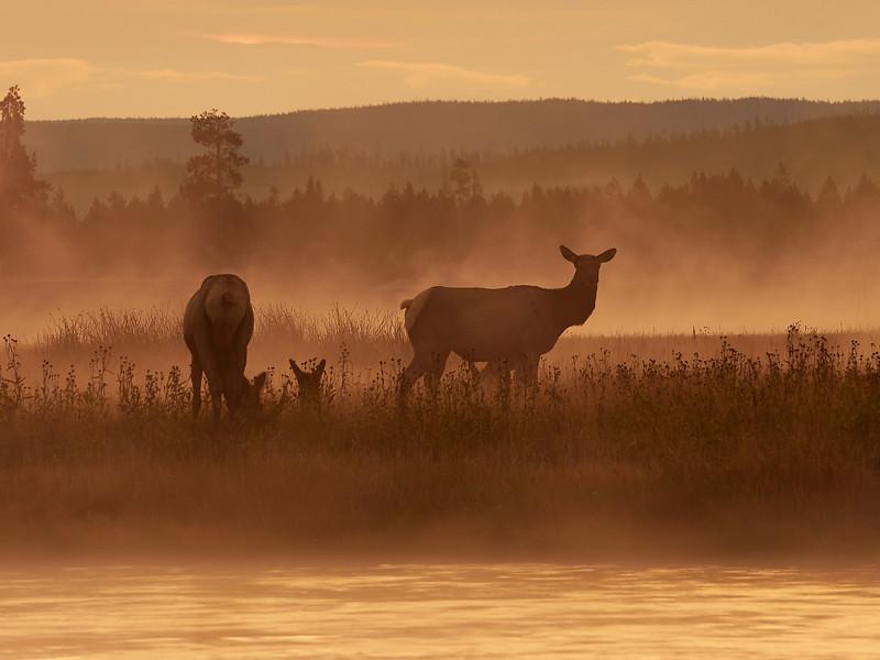 Elk females at dawn