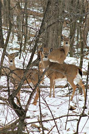 Oswego Deer - 2013