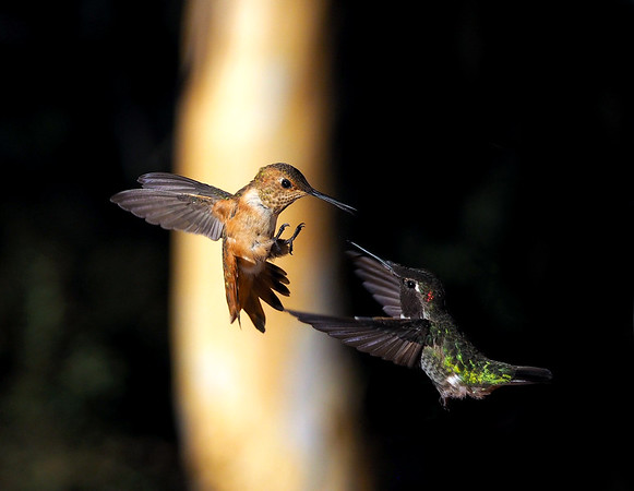 Hummingbird life
