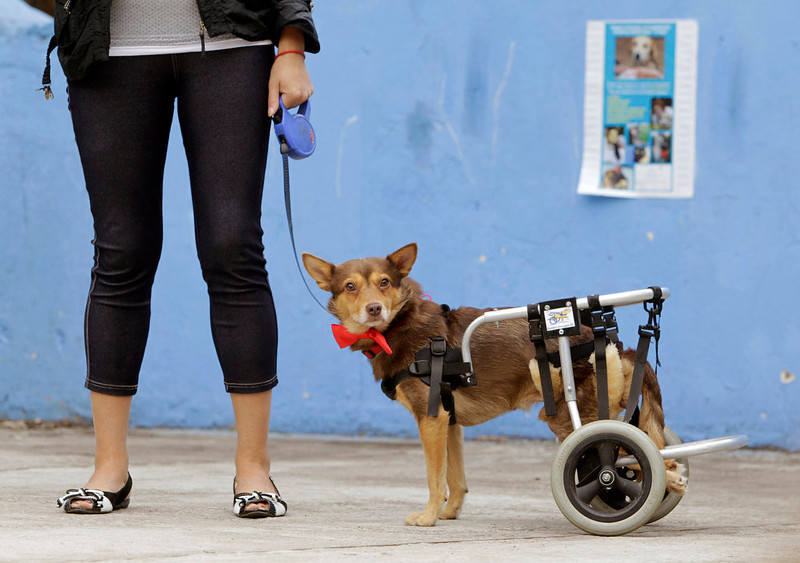 ". A disabled dog named Christmas stands during a charity event in Minsk on August 11, 2012. The Public Association for Animal Protection ""EGIDA\"" organized an event to match homeless dogs and cats to prospective new owners in the Belarusian capital on Saturday. REUTERS/Vasily Fedosenko"