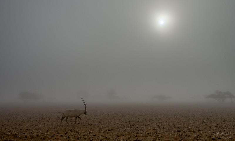 Arabian Oryx (31).jpg
