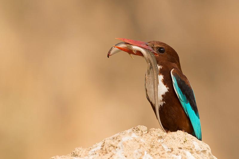 WT Kingfisher