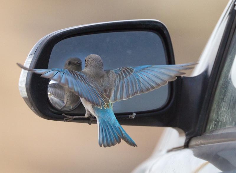 Mountain Bluebird fighting reflection in car mirror Yellowstone National Park WY IMG_7097.jpg