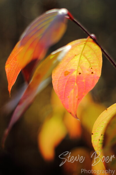 Bi-color Autumn Leaf