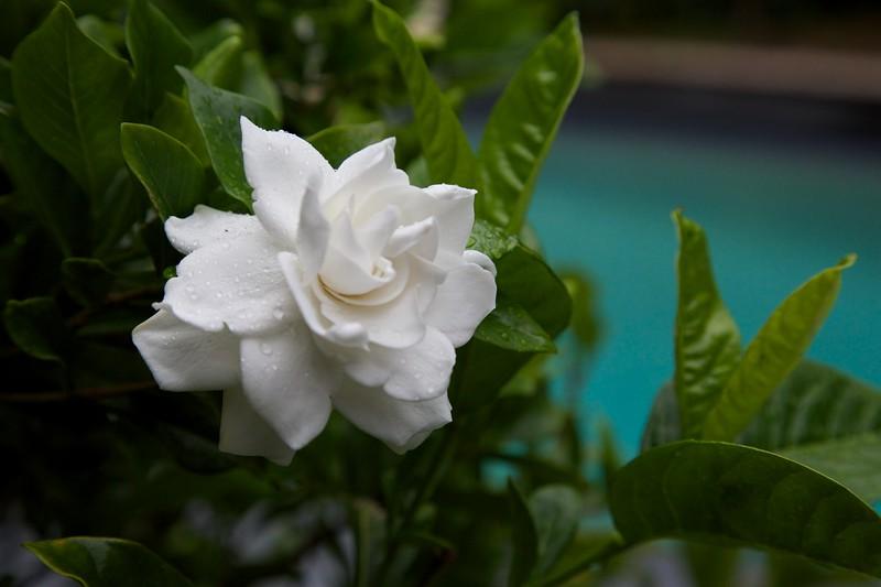 Gardenia After Rain.jpg