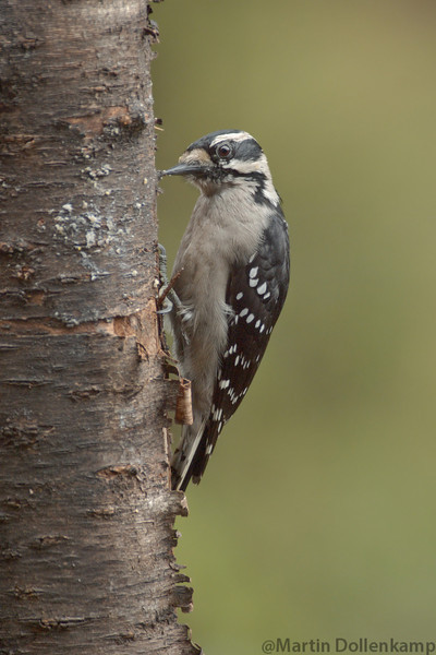 Hairy Woodpeckers will take sunflower seeds and place them in the bark of fir trees to hold them while they chip them open.