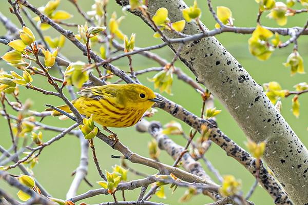 5-23-20 Yellow Warbler