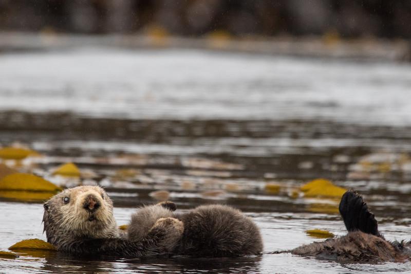 Sitka Alaska Otters 2019-2.jpg