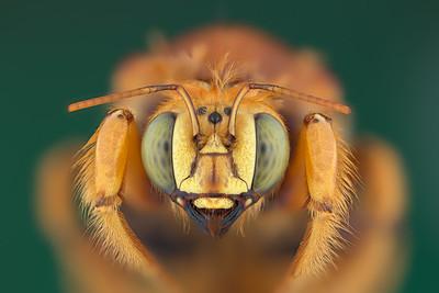 Arizonas Native Bees