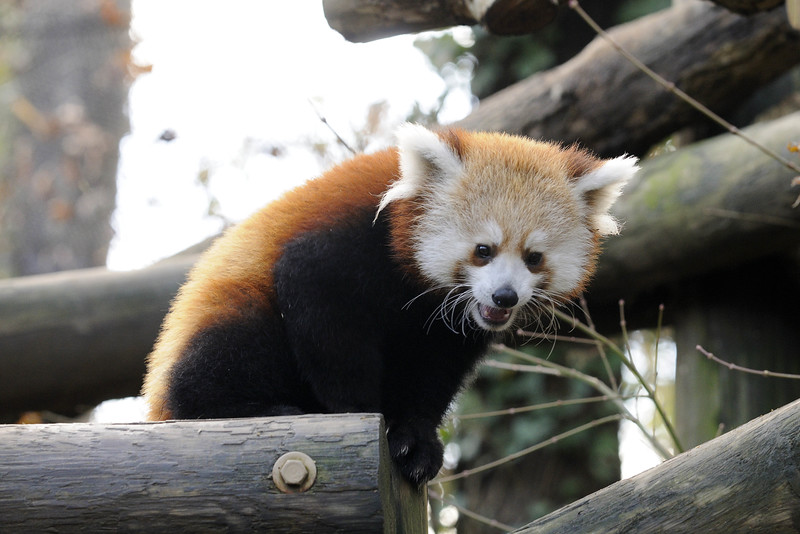 A smiling red panda cub at the Knoxville Zoo in Knoxville, TN on Tuesday, December 16, 2014. Copyright 2014 Jason Barnette