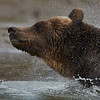 Shaking dry - Grizzly from the Great Bear Rainforest