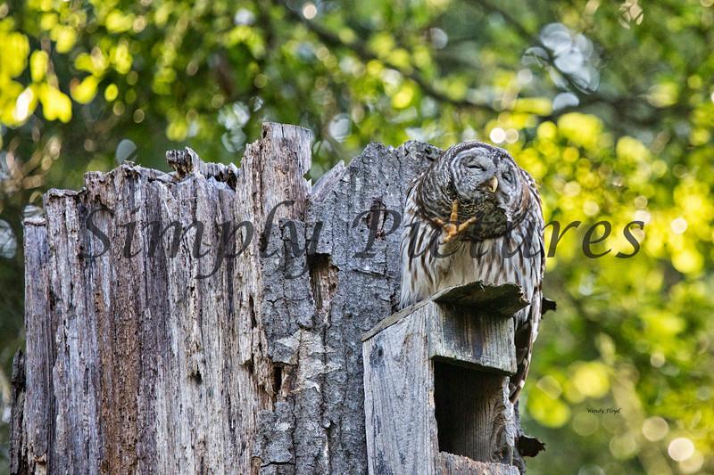 Owl  (17)