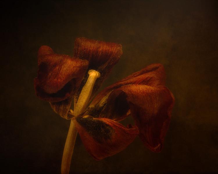 Dried Tulip Blossom 2