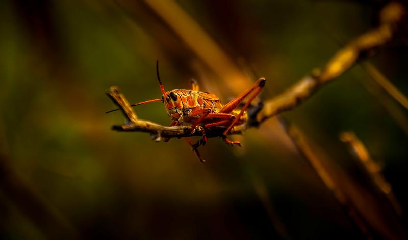 Grasshoppers 45.jpg