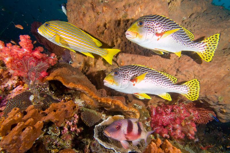fish sweetlips0337.jpg