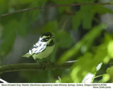 Black-throated Gray Warbler M20769.jpg