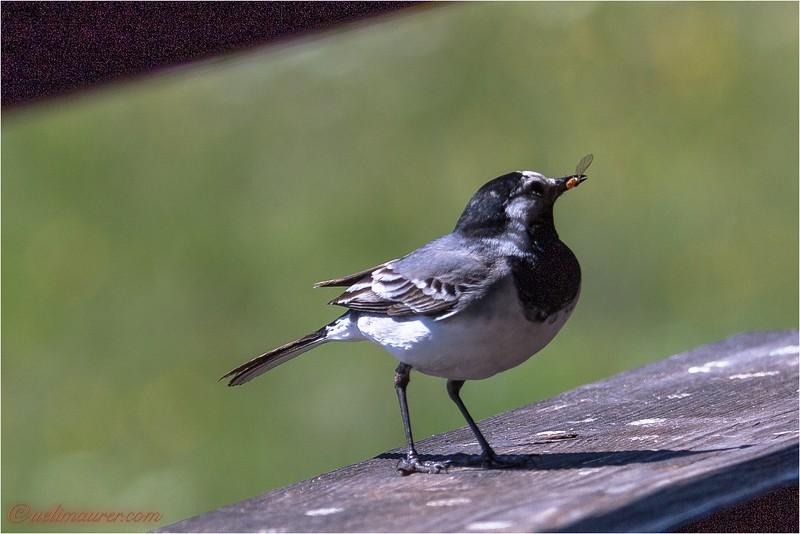 2017-05-10 Bird Life La Sauge - 0U5A6454.jpg