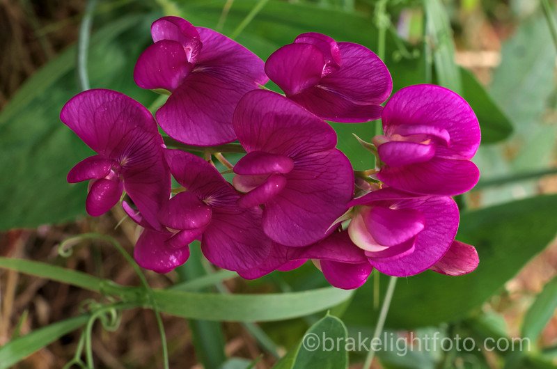 Purple Peavine - Lathyrus nevadensis