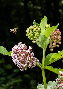 A honey bee (Apis mellifera) visits the flowers of common milkweed (Asclepias syriaca).  Urbana, Illinois, USA