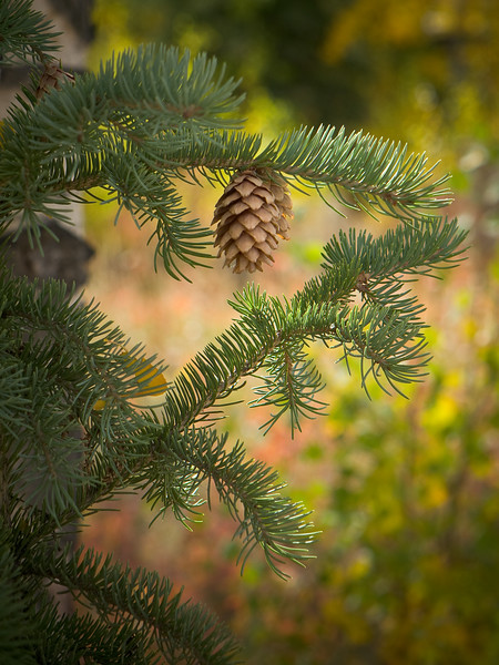 Pinecone on Bough