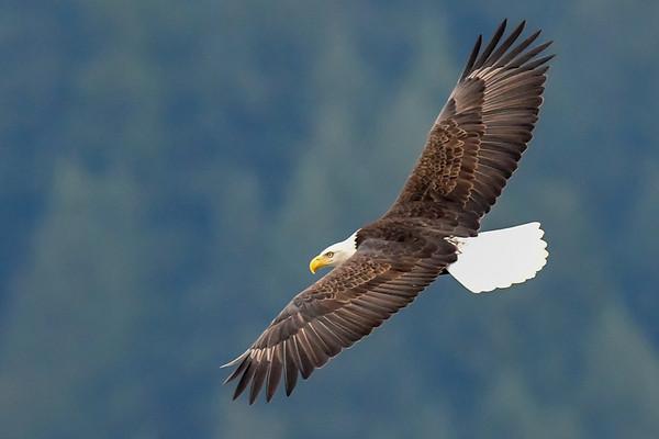 11-22-17 Bald Eagles - Soaring Harrison Mills