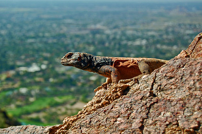 2008, May Chuckwalla on Camelback