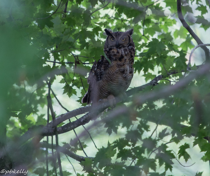 6-26-16.  A not good shot of something I have never seen there before.  Great Horned Owl.