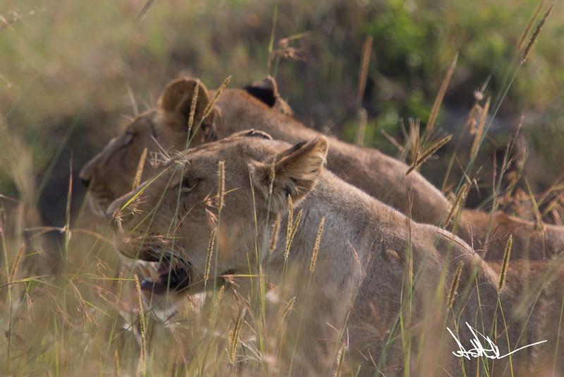 Lions Masai Mara - S-26.jpg