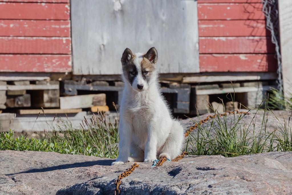 Sisimiut - Greenlandic Sled Dog - Lina Stock
