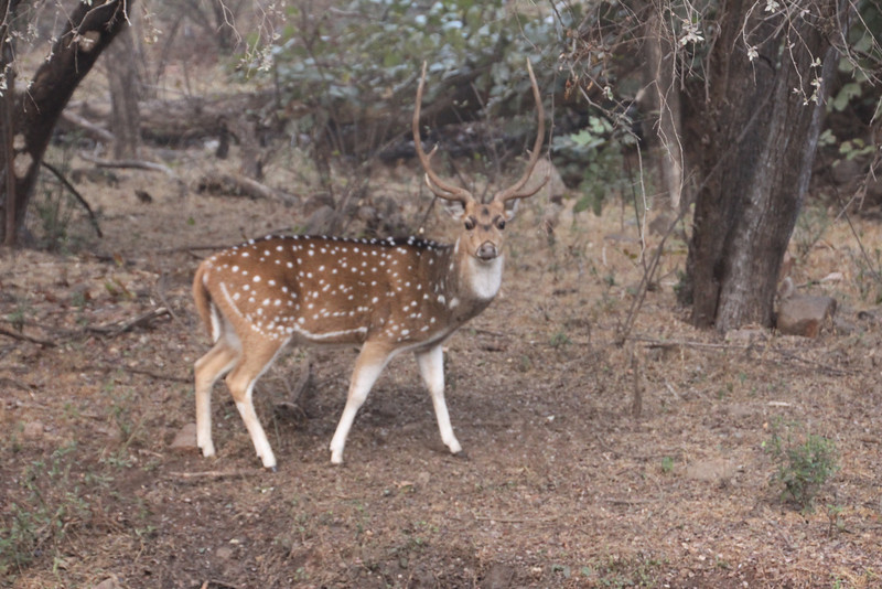 Spotted deer in Ranthambore