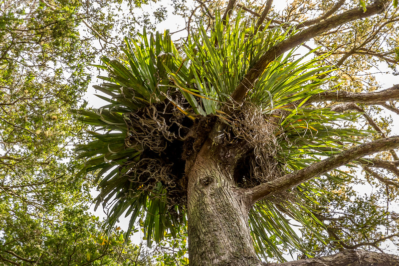 Epiphytes im Kauri Coast Holiday Park