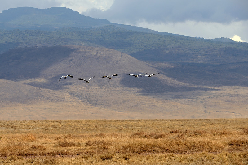 Grey crowned cranes soar over the Ngorongoro