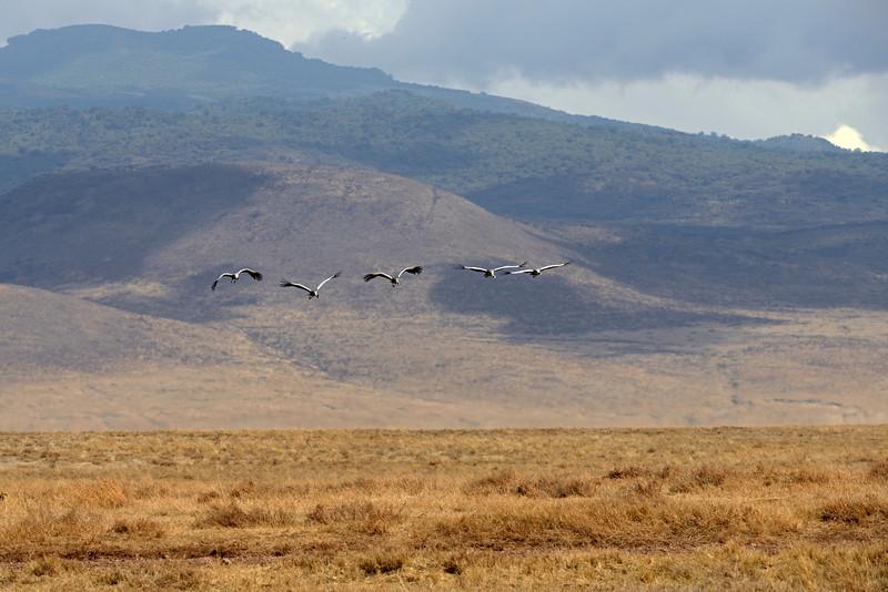 Grey crowned cranes soar over the Ngorongoro