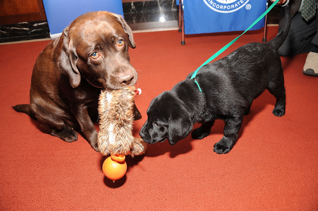 . Two Labrador retrievers, Shayna, left, and Ace pose for pictures. (Photo by Gary Gershoff/Getty Images)