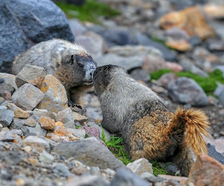 Marmot Fight