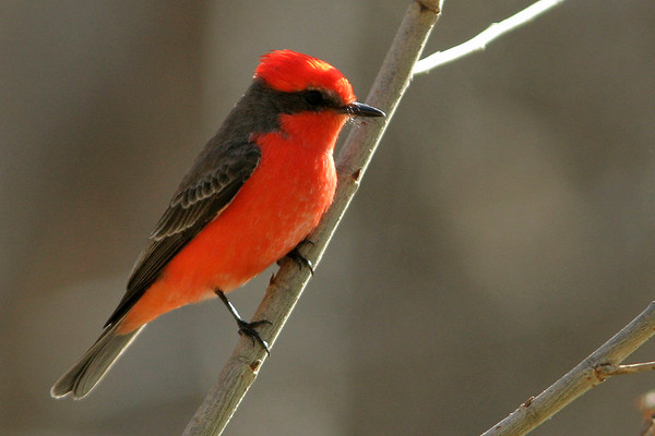 Flycatchers (New and Old World), Fantails, Gnatcatchers, Kingbirds, Kingfishers, Swallows, Swifts