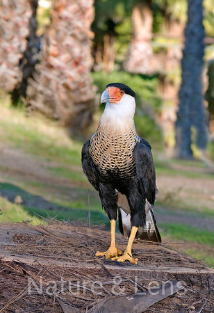 Falcons, Crested Caracara