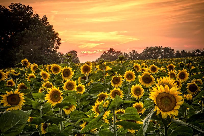 Sunflower Sunset_.jpg