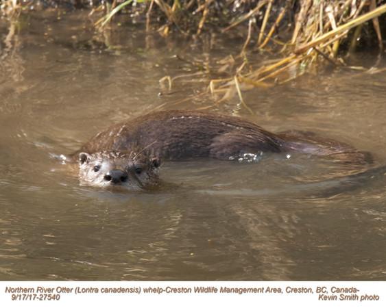 Northern River Otter J27540.jpg