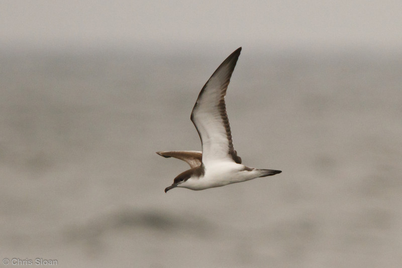 Buller's Shearwater at pelagic out of Bodega Bay, CA (10-15-2011) - 805.jpg