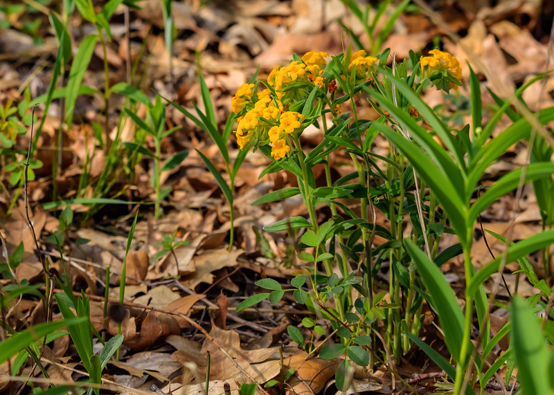 Hoary Puccoon at DuPont Natural Area, East Chicago, IN