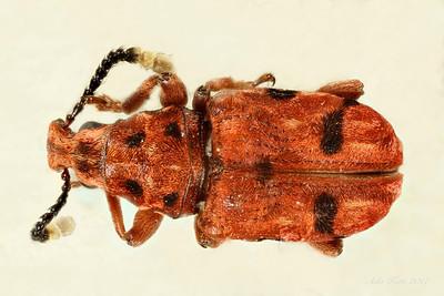 Curculionoidea