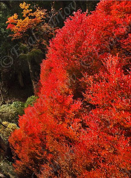 Japanese autumn - סתוו יפני