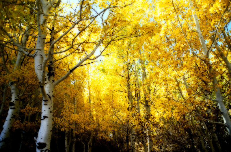yellow aspen working final.jpg