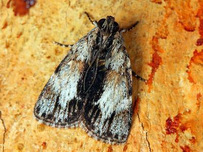 subfamily Epipaschiinae